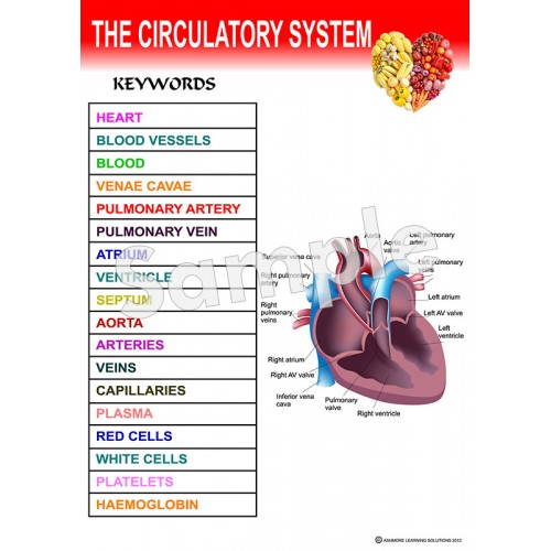Circulatory System Poster - Ashmore Learning Solutions