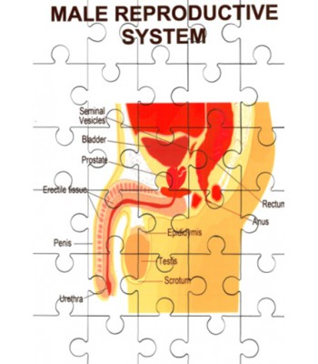 Male Reproductive System Jigsaw