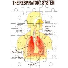 Respiratory System Jigsaw
